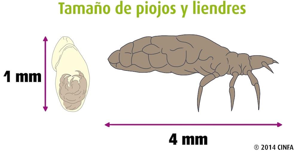 Morfología del piojo