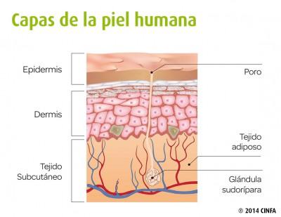 partes de la piel humana