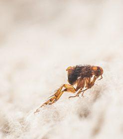 ¿Qué síntomas provoca la picadura de una pulga?
