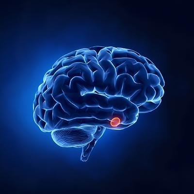 La hipófisis es una glándula situada en el cerebro