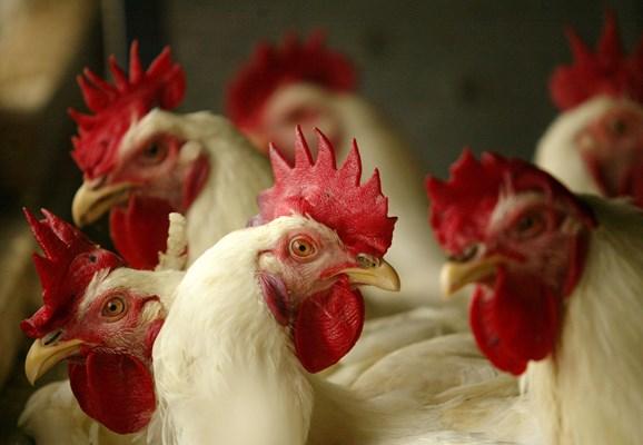 Los virus de la gripe tienen su origen en aves.