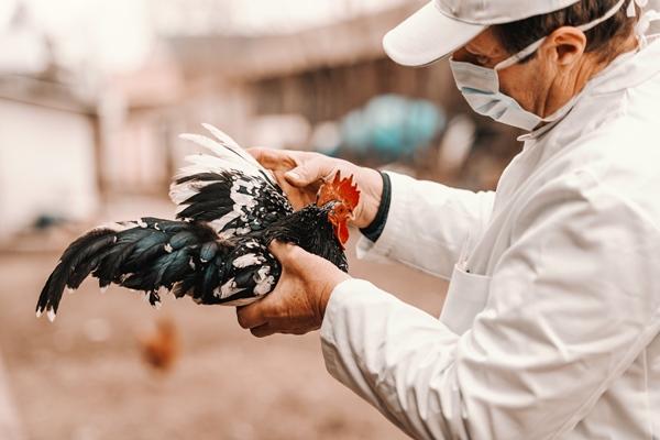 La transmisión de gripe aviar a personas es muy poco habitual.